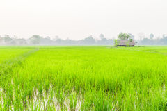 Paddy fields. And the hut Royalty Free Stock Photography