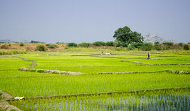 Paddy fields in India Stock Image