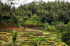 Paddy fields - Indonesia Royalty Free Stock Image