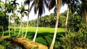 Paddy fields of kerala Stock Photo