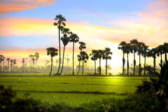 Paddy fields landscape. In India Royalty Free Stock Photo