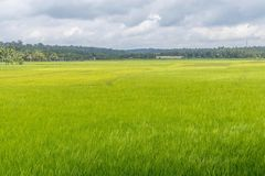 Paddy fields with lush green background. Scenic Stock Image