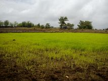 Rice/Paddy fields royalty free stock images