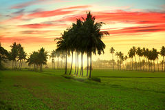 Paddy fields and morning fog in India Royalty Free Stock Photos