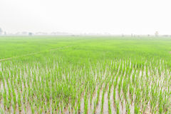 Paddy fields. In north of thailand Royalty Free Stock Photography