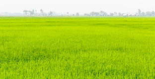 Paddy fields. In north of thailand Stock Photo