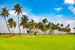 Paddy fields and palm trees Stock Photography