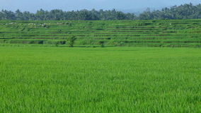 Paddy fields. And rice grass moving in the wind stock video
