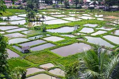 PADDY FIELDS. The paddy fields or rice fields are located near Bukittinggi in West Sumatra, Indonesia Royalty Free Stock Images