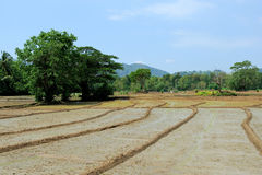 Paddy fields in Sri Lanka Royalty Free Stock Photo