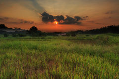 Paddy fields in summer At sunrise Stock Photography