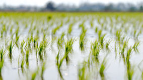 Paddy fields at Sungai Besar, Malaysia Royalty Free Stock Image