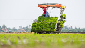 Paddy fields at Sungai Besar, Malaysia. SUNGAI BESAR, MALAYSIA - 8TH APRIL 2015; Unidentified farm worker preparing the paddy tillers for transplanting at Sungai Royalty Free Stock Photography