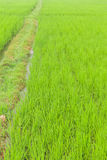 Paddy fields. And walking way Stock Photography