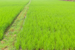 Paddy fields. And walking way Stock Images