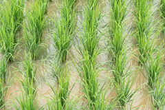 Paddy filed in Thailand Stock Photography