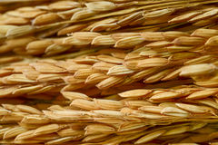 Paddy grains Royalty Free Stock Photography