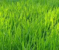 Paddy grass background Stock Images