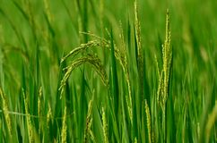 Paddy. A green paddy field with budding baddy Royalty Free Stock Photography
