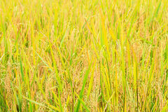 Paddy green and gold Rice Fields Stock Image