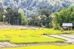 Paddy green and gold Rice Fields Royalty Free Stock Photos