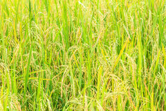 Paddy green and gold Rice Fields Royalty Free Stock Images