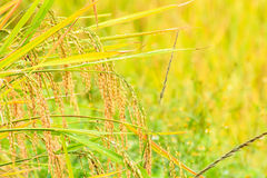 Paddy green and gold Rice Fields Stock Photography