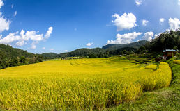 Paddy green and gold Rice Fields in Thailand Royalty Free Stock Images