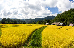 Paddy green and gold Rice Fields in Thailand Stock Photos