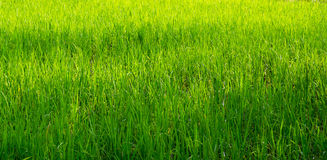 Paddy green Royalty Free Stock Images
