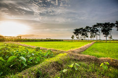 Paddy Green sunset view Beautiful Thailand Stock Images