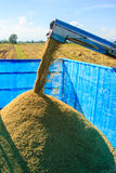 Paddy harvest on farmland. In thailand Stock Photography