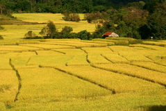 Paddy II. This is the rice in thailand stock photos