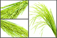 Paddy isolated set Stock Images