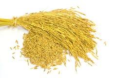 Paddy jasmine rice Stock Photography