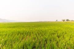 Paddy jasmine rice farm in Thailand Royalty Free Stock Photo