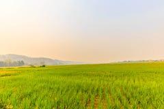 Paddy jasmine rice farm in Thailand Royalty Free Stock Image