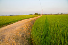 Paddy jasmine rice farm in Thailand Royalty Free Stock Photography