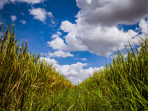 Paddy jasmine rice field with beautiful blue sky cloud cloudy. Royalty Free Stock Photos