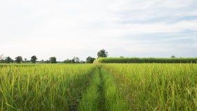 Paddy jasmine rice field and sugar cane plantation Stock Image