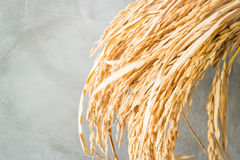 Paddy jasmine rice plant in detail Royalty Free Stock Photography