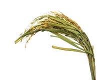 Paddy jasmine rice Stock Photos