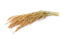 Paddy jasmine rice Royalty Free Stock Image