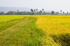 Paddy land Stock Image