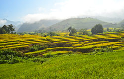 Paddy land. The paddy field in the morning Stock Photography