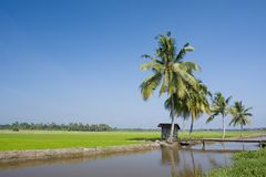 Paddy landscape Stock Photo