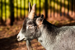 Paddy McGintys Goat. Goat munching his way through the farm Stock Image