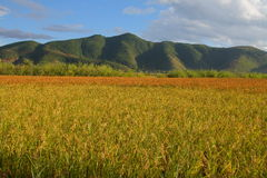 Paddy Mosuo red rice field and mountains. Yunnan, China Royalty Free Stock Images