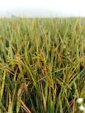 Paddy - Plant before RICE. royalty free stock images