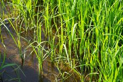 Paddy plants Royalty Free Stock Images
